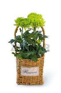 green chrysanthemum in straw basket