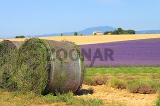 Lavendelfeld Ernte - lavender field harvest 10
