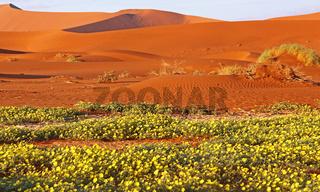 Blumen im Sossusvlei, Regenzeit, Namib-Wüste, Namibia, Regenzeit; flowers at Sossusvlei, rain saison, Namib-Desert