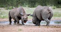 Kämpfende Spitzmaulnashörner, Etosha, Namibia; fighting black rhinoceroses, Diceros bicornis