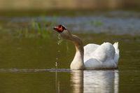 Adult mute swan drinking water while swimming in lake in spring