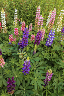 Lupin Border Berkshire UK