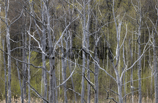 Dead trees in the forest as background.