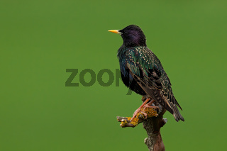 Common starling sitting on branch in summer nature