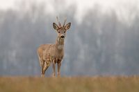 Roe deer in spring with new antlers,