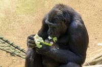 Gorilla frisst grünes Salatblatt