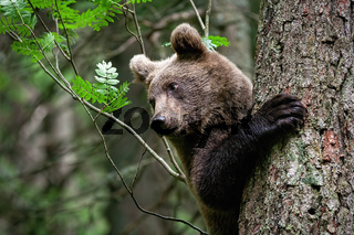 Young brown bear clinging to tree with wet big paw in remote forest in summer