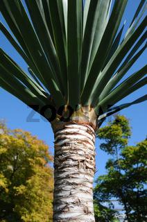 Dracaena draco, Drachenbaum, Dragon tree