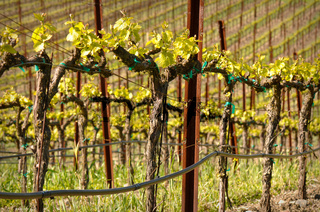 Grapes Vines in Vineyard during Spring