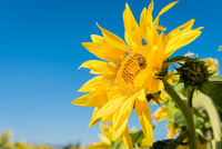 Sunflower against a blue sky with bee