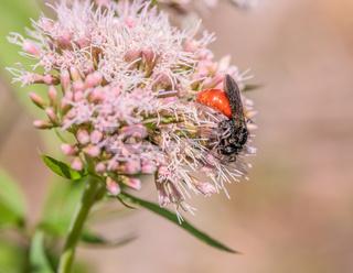 Blutbiene 'Sphecodes albilabris'Zahlreiche ähnliche Arten