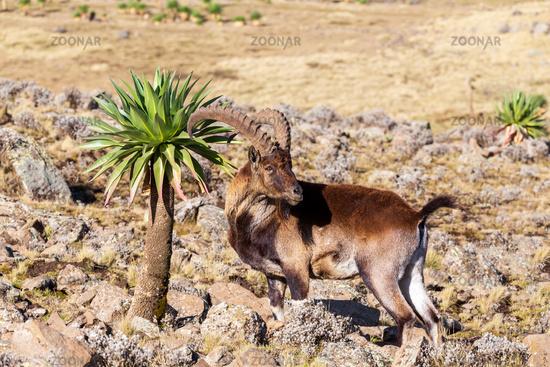 rare Walia ibex in Simien Mountains Ethiopia