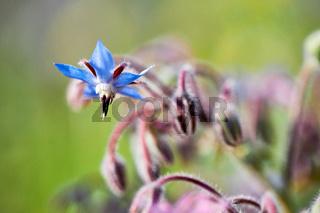 Ein blauer Borretsch (Borago officinalis) involler Blüte. Daneben Andere, deren Blüte noch geschlossen ist