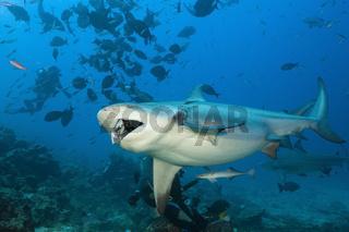 Bullenhai