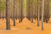 Rows of trees in a Pine Forest Plantation in Cape Town