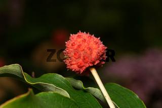 rote Frucht eines Japanischer Blumen-Hartriegel