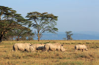 White rhinoceros (Ceratotherium simum) in open grassland