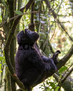 Gorilla, Bwindi National Park, Uganda