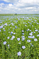 Blooming flax field