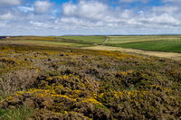 Gorse flowering by the coast at Hells Mouth near Hayle in Cornwall