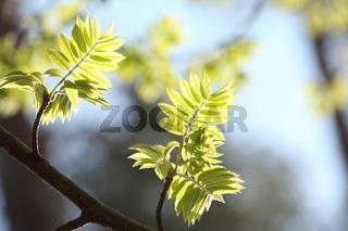 Rowan berry leaves