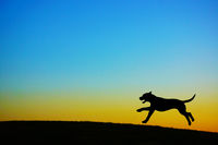 Silhouette of a dog standing on the evening of the hill