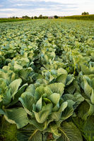 Fresh cabbage from farm field. View of green cabbages plants.