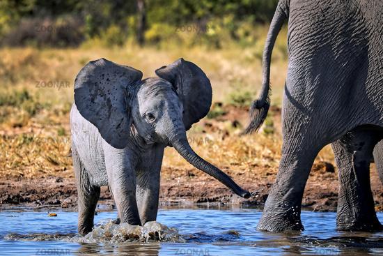Junger Elefant, Etosha-Nationalpark, Namibia, (Loxodonta africana) | young elephant, Etosha National Park, Namibia, (Loxodonta africana)
