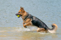 Young happy German Shepherd, playing in the water. The dog splashes and jumps happily in the lake. Yellow tennis ball in its mouth