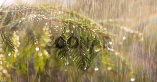 Rain on a sunny day. Close-up of rain on the background of an evergreen spruce branch.