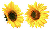 Beautiful two yellow Sunflowers head isolated on white background closeup. Top view. Copy space
