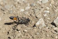 Weibchen der Südlichen Grabwespe (Prionyx kirbii)