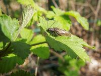 Alderfly Sialidae Schlammfliege