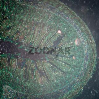micrograph of small intestinum tenue tissue