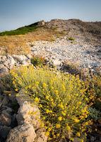 Yellow flowers on island of Rab with mountain ridge