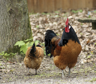 multicolored chickens in natural back