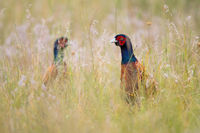 Two common pheasant looking on meadow in summer nature