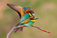 Two european bee-eaters copulating in mating season in spring nature.