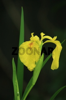 gelbe Sumpf- Schwertlilie, Blüte