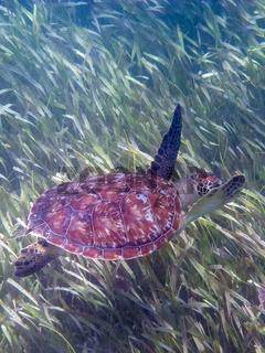 Suppenschildkröte
