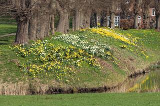 Gelbe und weiße Narzissen im Frühling im Schlosspark in Ahrenburg