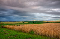 Barley field and amazing sunset before heavy storm