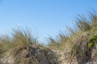 Gewöhnlicher Strandhafer oder Gemeiner Strandhafer (Ammophila arenaria)