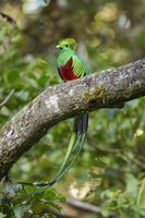Colorful resplendent quetzal sitting on a scrub in cloud forest at sunset.