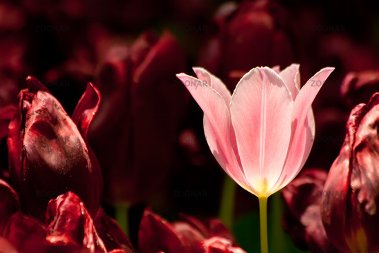 Pink Tulip Surrounded With Burgundy Tulips