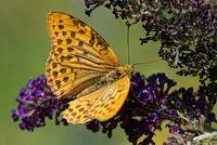 Kaisermantel am Schmetterlingsflieder