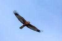 Marsh Harrier, Birds of prey, Europe Wildlife