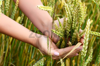 Female hands with wheat ears on a wheaten field