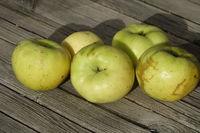20210930_Malus domestica Weisser Wintertaffetapfel, Apfel, apple004.jpg