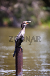 cormorant (Phalacrocorax)